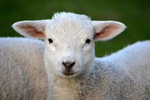 lamb jesus