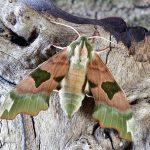 moth deception